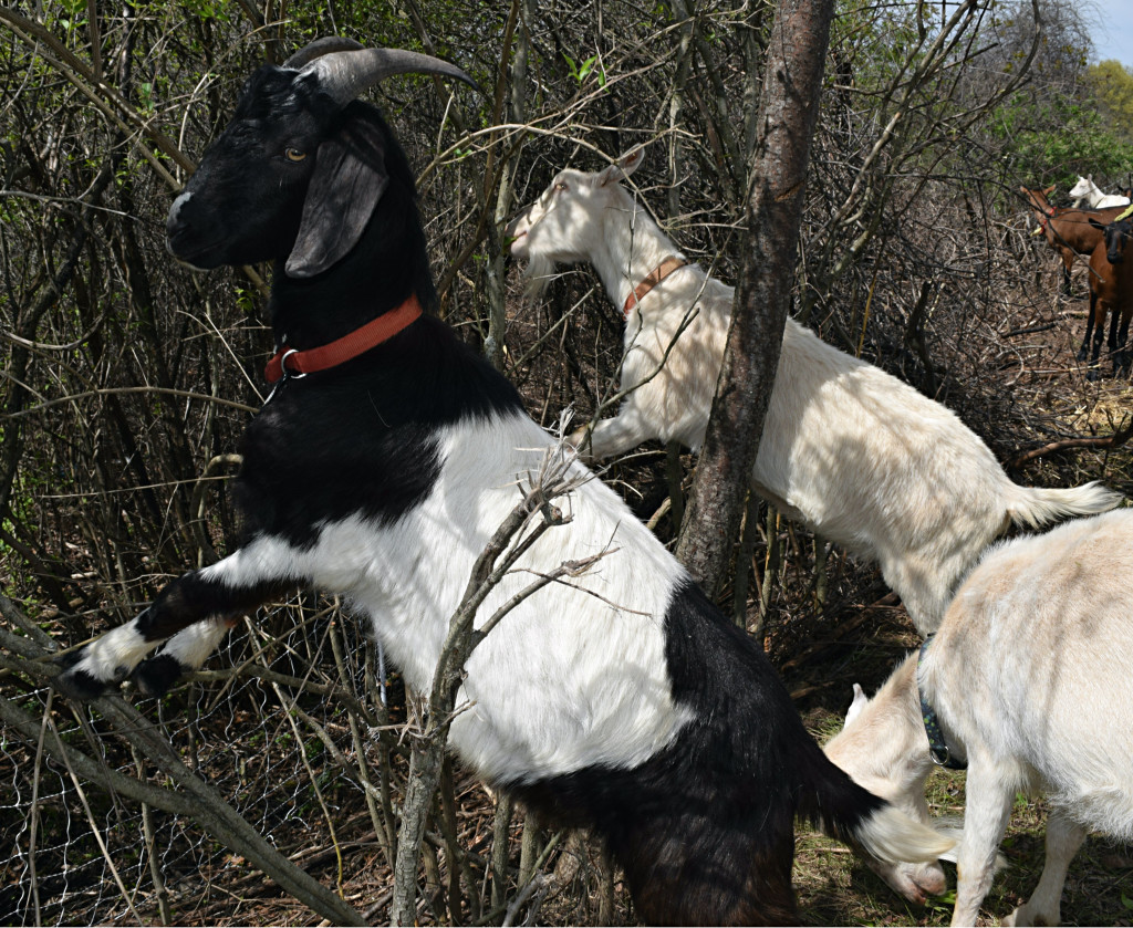 Goats munch away on invasive plants growing along the Polly Ann Trail. Photo by Elise Shire.
