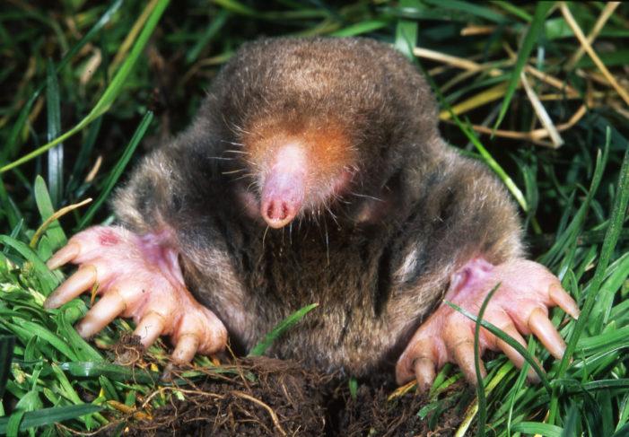 I can't stop thinkin' about Moles, Moles, Moles!