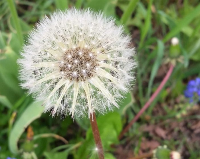 And, readers respond to dandelions