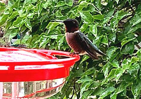 Humming birds back!
